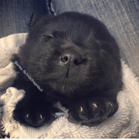 My wee little three week old bottle foster puppy. Burrito-pup after her first bath. I am certain they are bear cubs and not really puppies.   Love, MacBearLover: My wee little three week old bottle foster puppy. Burrito-pup after her first bath. I am certain they are bear cubs and not really puppies.   Love, MacBearLover