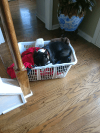 My weird Boston terrier sleeping in a laundry basket: My weird Boston terrier sleeping in a laundry basket