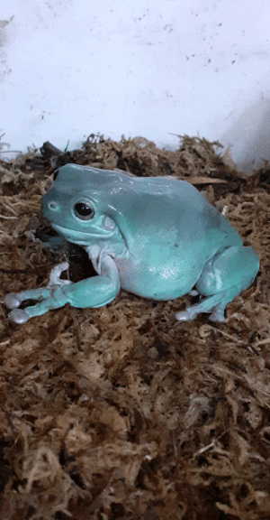 My White's tree frog. Genuinely feel like squeezing him everday cause he's too cute. Anyone relate?: My White's tree frog. Genuinely feel like squeezing him everday cause he's too cute. Anyone relate?
