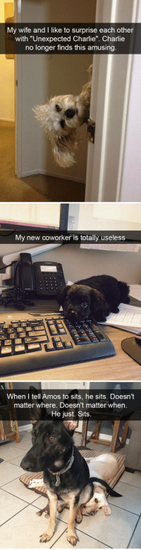 """animalsnaps:Cute Dog Snaps: My wife and I like to surprise each other  with """"Unexpected Charlie"""" Charlie  no longer finds this amusing   My new coworker is totally useless   When I tell Amos to sits, he sits. Doesn't  matter where. Doesn't matter when  He just. Sits animalsnaps:Cute Dog Snaps"""