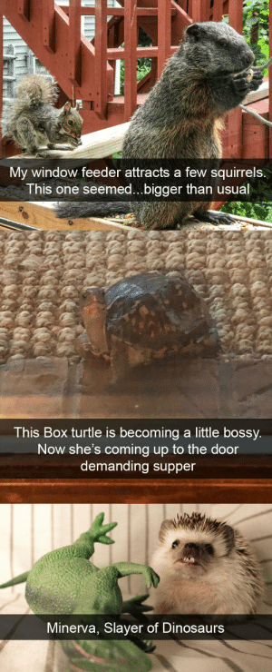Slayer, Target, and Tumblr: My window feeder attracts a few squirrels.  This one seemed...bigger than usual   This Box turtle is becoming a little bossy  Now she's coming up to the door  demanding supper   Minerva, Slayer of Dinosaurs animalsnaps:Animal snaps