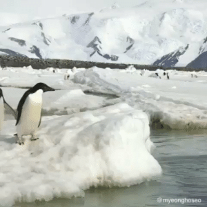 RT @Naturesdiy: Wings or Flippers. Penguins can't fly, but they can jump out of water.🐧 https://t.co/XRvJTviJXT: @myeonghoseo RT @Naturesdiy: Wings or Flippers. Penguins can't fly, but they can jump out of water.🐧 https://t.co/XRvJTviJXT