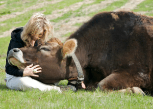 "Saw, Target, and Tumblr: mysleepykisser-with-feelings-hid:                                                        Linus, born to a dairy cow and ordered to be  killed when the farmer saw he was a male (and thus useless in the dairy  industry). A compassionate individual intervened, and he was brought to  a sanctuary. I met him when he was a few days old and 60 pounds, and he  would always try to sit on my lap. Today, 7 years young and 1500  pounds, he still tries to sit on my lap."" - by Colleen Patrick-Goudreau"