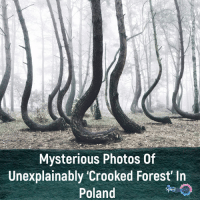 "Beautiful, Facts, and Memes: Mysterious Photos Of  Unexplainably 'Crooked Forest' lin  Poland Sometimes the strangest sights are found in nature. In this case, 400 pine trees in the northwest of Poland appear to be almost normal, but they are not. If you look at the base of these trees, you might feel like you've just entered a strange mystical fairy tale. All of the trees have the same northward 90-degree bend at the base of their limb. Known as the ""Crooked Forest,"" this unique site remains an unexplained mystery. Every tree in the Crooked Forest has the same haunting bend, but despite bent beginnings, all of the trees have grown to be tall and seemingly unhampered by their C shape curves. Some experts believe that the trees grew like this because they incurred some sort of damage to the tip and along some side branches. Trees are resilient, and so they continued to thrive, relying on the one branch they had left to take over complete function and grow upwards. Whatever damage occurred to one tree must have happened to them all because they remain uniform in deformity. The Crooked Forest is around 80 years old. It is estimated that the damage that made them look how they do today occurred when the trees were about 7 years old. This would have been before the Second World War reached Poland. Which helps to explain the most popular theory about how the trees came to be crooked. As the story goes, in 1930 a group of farmers planted these trees, intentionally damaging the base in order to create some sort of product, perhaps uniquely shaped furniture. The world may never know if it's true because the farmers were unable to finish their work after the invasion on Poland during World War II dismantled their plans. ⇒Love ❤️, flow 💬, serve ✨⇐ . . . . . . . . . . . . . nature habitat geyser science amazing facts video natural italy sand wow instatag facts instafun instavideo videos spiritual beautiful london amazingfact memes mindblown fact magic insta sun trees tree poland Credits: 📷 Kilian Schönberger"