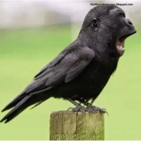 Funny Crow: MyWhatsAppimages blogspot.com Funny Crow