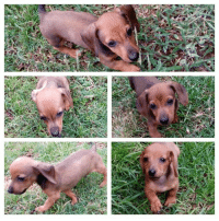 GAUTENG : TRIX 4 ANIMALS We cannot believe that little Adam is STILL  waiting for home :( Please open your heart to this little guy - it is never fun to be the last of the litter to find a home -left all on his own! He is a super cute Miniature Dachshund around 15 weeks old and is currently based in Capital Park, Pretoria (he is bigger than in the pics now) Mom is a black Tweeny Dachshund and dad is a tan Miniature Dachshund  Adoption fee of R1300 covers all 4 puppy vaccinations for the year, compulsory sterilisation at 6 months, deworming and a microchip.   Please contact Trix on Trix@Trix4Animals.co.za: n GAUTENG : TRIX 4 ANIMALS We cannot believe that little Adam is STILL  waiting for home :( Please open your heart to this little guy - it is never fun to be the last of the litter to find a home -left all on his own! He is a super cute Miniature Dachshund around 15 weeks old and is currently based in Capital Park, Pretoria (he is bigger than in the pics now) Mom is a black Tweeny Dachshund and dad is a tan Miniature Dachshund  Adoption fee of R1300 covers all 4 puppy vaccinations for the year, compulsory sterilisation at 6 months, deworming and a microchip.   Please contact Trix on Trix@Trix4Animals.co.za