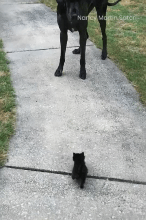 "ruffboijuliaburnsides: mikkeneko:  ahighlyfunctioningfangirl:  reasonably-annoyed-fog: doggo is not confused or scared btw, this is how dogs prompt each other to play  ""Come on let's go play ""  the kitten is not scared either, and if it's confused, moreso by the edge of the sidewalk than by the behavior of the dog  that's a confident kitten slowly following a trusted friend around. : Nancy Martin Satori ruffboijuliaburnsides: mikkeneko:  ahighlyfunctioningfangirl:  reasonably-annoyed-fog: doggo is not confused or scared btw, this is how dogs prompt each other to play  ""Come on let's go play ""  the kitten is not scared either, and if it's confused, moreso by the edge of the sidewalk than by the behavior of the dog  that's a confident kitten slowly following a trusted friend around."