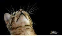 Cats, Memes, and Slow Motion: NAT GEO Witness one of cats' most extraordinary senses in slow motion: