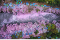 natgeotravel:  Cherry Blossoms at the Sakura River in Japan.Photograph byDanilo Dungo, National Geographic Your Shot : natgeotravel:  Cherry Blossoms at the Sakura River in Japan.Photograph byDanilo Dungo, National Geographic Your Shot
