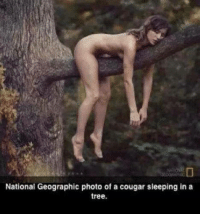 Cougaring: National Geographic photo of a cougar sleeping in a  tree