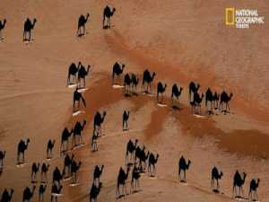 Taken, American, and National Geographic: NATIONAL  GEOGRAPHIC This incredible picture was taken by American photographer George Steinmetz, who used a motorised paraglider to get the aerial view. The white shapes at their feet are, in fact, the backs of these ships of the desert. This shows how out perspective can change the outlook of things.