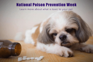 🐩National Poison Prevention Week🐈  Learn more about common household dangers!!   INDOORS 🐾Human medications-many human medications, including pain killers, can be highly toxic to pets 🐾String, yarn, & other similar objects can cause intestinal blockage in your pets.  🐾Small toys with moving parts.  Many toys designed for children are choking hazards for pets. 🐾Holiday decorations.  Pets like to play with decorations, but many of them are choking hazards to pets. 🐾Fumes from cleansing products.  If you use aerosol sprays on a self cleaning oven product, keep pets away from the fumes as they are toxic.  KITCHEN 🐾Alcohol-all alcoholic beverages including beer. 🐾Apple seeds-only the seeds & stem.  The rest of the Apple is fine.  🐾Apricot pits 🐾Cherry seeds 🐾Bones-ask your veterinarian which bones your dog can eat. 🐾Caffeinated beverages 🐾Chocolate-including chocolate desserts & candies 🐾Coffee & coffee beans 🐾Garlic 🐾Grapes-all varieties  🐾Macadamia nuts 🐾Marijuana edibles 🐾Onions & shallots 🐾Peach pits 🐾Potatoes with growth or sprouts 🐾Raisins 🐾Sugar-free candy & gum 🐾Yeast dough  OUTDOORS 🐾Cocoa mulch.  Pets are attracted to the chocolatey aroma, but the ingredients in cocoa mulch can be deadly if ingested.   🐾De-Icing salts used for snow & ice.  These salts can irritate the paws & poison your pet if consumed. 🐾Plants-certain types of plants are highly toxic to dogs...(outside) •Daffodils  •Autumn Crocus  •Azaleas •Tulips •Oleander •Amaryllis •Sago Palm (inside) •Dieffenbachia aka dumb cane •Kalanchoe aka Mother In-Law plant •Cyclamen  GARAGE 🐾Fertilizers-most fertilizers both commercial & organic & plant food products are toxic to pets. 🐾Antifreeze or other ethylene glycol products.  The sweet taste appeals to pets, but antifreeze can be deadly if even a small amount is ingested.  🐾Pest control poisons or insect repellents.  Insect repellents & poisons are highly dangerous for pets.: National Poison Prevention Weok  Learn more about what is toxic to your pet 🐩Nationa