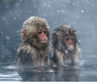 Memes, Japan, and Lowes: Native to northern Japan, snow monkeys live farther north than any other non-human primate. The macaque's thick fur allows the monkeys to deal with temperatures as low as -4 degrees Fahrenheit, and they can live at elevations of up to 9600 feet above sea level. Photo: Julia Wimmerlin Source: National Geographic