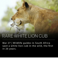 "Africa, Dell, and Memes: NATURE  RARE WHITE LION CUB  Mar 27 Wildlife guides in South Africa  spot a white lion cub in the wild, the first  in 26 years. A rare wild white lion cub has been spotted in the Ngala Private Game Reserve in South Africa by wildlife guide Lyle Bruce McCabe and tracker Fany Mathonsi. McCabe recalls watching a male lion sleeping when he heard the distinct sound of a cub's cry. This is the first white lion cub either McCabe or Mathonsi have seen in the wild over the course of 26 years. White lion cubs are born from both parents possessing a recessive gene mutation that affects melanin; however, they are considered leucistic, rather than albino, as they are not completely void of pigmentation. ""They are exceptionally rare to see fully grown in the wild; however, we think more are born that don't reach adulthood,"" says McCabe. The animal's white coloring makes it difficult to blend in with vegetation, especially at night time, affecting their survival rate. ___ White lions are even more uncommon as they are unsuccessfully bred in captivity without abnormalities or stillbirths. The Association of Zoos and Aquariums forbids member institutions from breeding for white lions and other genetic abnormalities. ___ Photo: DARYL DELL 