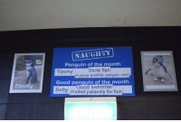 Fish, Good, and Penguin: NAUGTY  Penquin of the month  Stole fish  Timmy  Good penquin of the month  Bety Waited patiently for fish  Pushed another penguin over  Timmy  Good swimmer