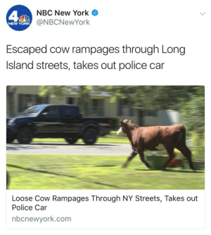 evaunit01:  untitledb1:   ethicallyambiguous: Direct action anarchist queen   Taurus  : NBC New York  @NBCNewYork  NEW YORK  Escaped cow rampages through Long  Island streets, takes out police car  Loose Cow Rampages Through NY Streets, Takes out  Police Car  nbcnewyork.com evaunit01:  untitledb1:   ethicallyambiguous: Direct action anarchist queen   Taurus