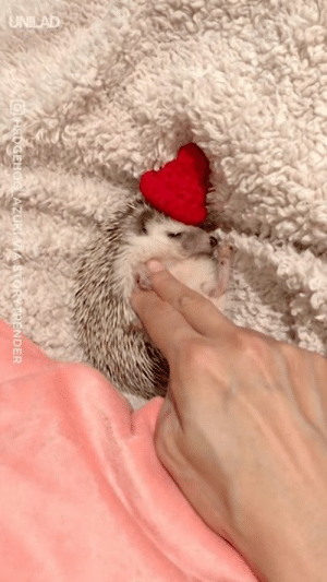 Just a tiny hedgehog getting tucked in before bedtime 😍😍: NDER Just a tiny hedgehog getting tucked in before bedtime 😍😍