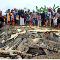 Nearly 300 crocodiles were slaughtered by angry villagers at a sanctuary in Indonesia, in retaliation for a local man thought to have been killed by a reptile from the site. Unable to stop the attack, wildlife officials and police say they may now press charges. Link in our bio to read more. (Image: @reuters): Nearly 300 crocodiles were slaughtered by angry villagers at a sanctuary in Indonesia, in retaliation for a local man thought to have been killed by a reptile from the site. Unable to stop the attack, wildlife officials and police say they may now press charges. Link in our bio to read more. (Image: @reuters)