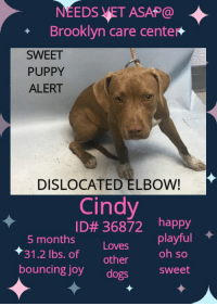 Andrew Bogut, Apparently, and Complex: NEEDS VET ASAP@  + Brooklyn care center*  SWEET  PUPPY  ALERT  DISLOCATED ELBOW!  Cindy  ID# 36872  happy  5 months  31.2 lbs. of other  bouncing joy dogs5  Loves playful  oh so  sweet Intake Date: 08-02-2018  ***SWEET PUPPY NEEDS VET NOW!! DISLOCATED ELBOW!! LOVES OTHER DOGS , HAPPY , PLAYFUL, GENTLE, BOUNCING JOY OF OH SO SWEET LOVE EVEN WHILE IN PAIN! ***  Cindy ID# 36872 Brooklyn Animal Care Center  Age Months: 5 Female , Is Vaccinated: Yes Primary Color: Brown , Secondary Color: White Weight: 31.2 lbs  CAME TO THE SHELTER W/HOUSEMATE: Bruno 36870.  Sawyer (MUST BE CINDY'S REAL NAME?) was very nervous during intake, she kept her tail tucked and was fighting to be walked on a leash. She allowed counselor to collar her and pick her up without any issues.     BEHAVIOR: Summary (1): Sawyer was brought in as stray with two other dogs but limited information was provided, so her past behavior around other dogs is unknown. When off leash at the Care Centers, Sawyer greets a group of small male and female dogs with a soft posture. She bounces around the yard, soliciting gentle play.      MEDICAL:   Medical History Report 2336 Linden Boulevard Brooklyn NY 11208 212-788-4000      Animal ID Name Type Mixed Color(1) Color(2) Gender   36872 Cindy Puppy Yes Brown White Female   Spayed / Neutered Age Primary Microchip # Rabies Tag Weight Spay / Neuter Due Date Temperature   Yes 5 Months 1 Week 985113002021340 18-167752 31 lbs 3.2 oz 8-Aug-2018          Veterinary Clinic Software Record #:    Weight:   31 lbs 3.2 oz     Date of Weighing:   8/4/2018       Date Spayed / Neutered:    Schedule Surgery Date:       Stitches Removal Date:           Clinic Name:       Previously Spayed / Neutered:    No    General Vet Notes:       Previous Medical Details:       Known Allergies or Medical Conditions:       Feeding Requirements:           Indemnities/Waivers:       Medical Notes Notes Date No Medical Notes Stored  Vet Treatments Date Administered V