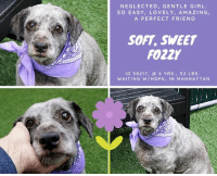 """Best Friend, Cute, and Family: NEGLECTED, GENTLE GIRL  SO EASY, LOVELY, AMAZING,  A PERFECT FRIEN D  SOFT, SWEET  FOZZY  ID 38217, @6 YRS., 52 LBS.  WAITING W/HOPE, IN MANHATTAN TO BE KILLED – 8/23/2018   Gentle, sweet, perfect Fozzy dreams of a home where she will.....finally.....be loved.  Food is not love. Neither is neglect bordering on cruelty. Fozzy came to the shelter a mess, not just superficially, but physically as well. Yet she is nothing but a bundle of love and forgiveness, a sweet, sad girl who is always trying to be pleasing, to be good, to be kind. Fozzy is so special, that even looking into her eyes at the sadness there just rips at our hearts. This easy, soft, perfect girl is so deserving of a new family who will show her what it means to be truly loved! As a volunteer writes: """"Fozzy came to us all matted and we did not lose any time in giving her a much-needed hair cut. She is so cute in her wooly grey coat, her eyes are so gentle and her manners so soft. A perfect little girl! Life seems in slow motion when I am with her. Peace and quiet! She is very needy of human attention and stays around me for petting, sweet talks and treats. She truly is a trooper, walking slowly on her sore feet which is healing. The turf in the yard suits her just fine. As another volunteer joins us, Fozzy perks up, her little tail wags and she takes few steps toward her. Same when a friendly peer appears at our gate to say hello. Fozzy is a gentle soul in need of TLC and your love. Ask to meet her at the Manhattan Care Center and get the wonderful four legged best friend you always dreamed to have in your life!"""" PRIVATE MESSAGE our page or email us at MustLoveDogsNYC@gmail.com for assistance saving fostering or adopting Fozzy.  Gentle Fozzy: https://youtu.be/npCnPoPPXvE"""