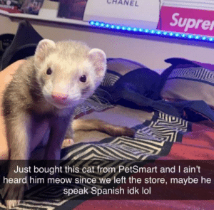 gato español: NEL  Suprer  Just bought this cat from PetSmart and I ain't  heard him meow since we left the store, maybe he  speak Spanish idk lol gato español
