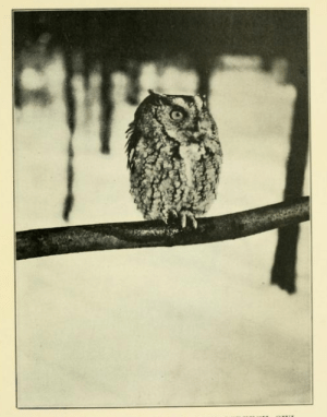 Tumblr, Blog, and Page: nemfrog:Screech owl. Everyday adventures. 1920.