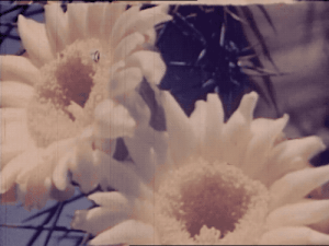 nemfrogfilms: Cactus flowers and bees at work.  Land of Geronimo. 1945. Prelinger Archives : nemfrogfilms: Cactus flowers and bees at work.  Land of Geronimo. 1945. Prelinger Archives