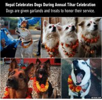 9gag, Dank, and Http: Nepal Celebrates Dogs During Annual Tihar Celebration  Dogs are given garlands and treats to honor their service.  VIA 9GAG.COM I feel like the dogs completely understand what this is about.  http://9gag.com/gag/a7Zyxv2?ref=fbpic