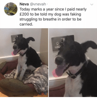 Post 1188: he knew exactly what he was doing!!! (What's your dogs name?(: Neva @vnevah  Today marks a year since I paid nearly  £200 to be told my dog was faking  struggling to breathe in order to be  carried Post 1188: he knew exactly what he was doing!!! (What's your dogs name?(