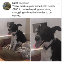 Funny Random Meme Dump: Neva @vnevah  Today marks a year since I paid nearly  £200 to be told my dog was faking  struggling to breathe in order to be  carried. Funny Random Meme Dump