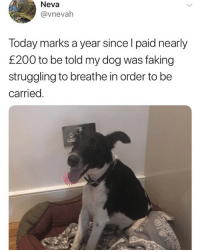 Who's a naughty boy: Neva  @vnevah  Today marks a year since l paid nearly  £200 to be told my dog was faking  struggling to breathe in order to be  carried Who's a naughty boy