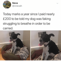 me as a dog: Neva  @vnevah  Today marks a year since l paid nearly  £200 to be told my dog was faking  struggling to breathe in order to be  carried me as a dog
