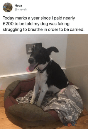 tastefullyoffensive:  (via vnevah): Neva  @vnevah  Today marks a year since l paid nearly  £200 to be told my dog was faking  struggling to breathe in order to be carried. tastefullyoffensive:  (via vnevah)