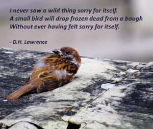 Frozen, Saw, and Sorry: never saw a wild thing sorry for itself  A small bird will drop frozen dead from a bough  Without ever having felt sorry for itself  D.H. Lawrence virtualfossilmuseum:  Virtual Fossil Museum Poignant Poetry D. H. Lawrence Poem