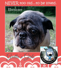 """Memes, Arthritis, and Calendar: NEVER too old...to be loved.  Ebenezer  cue Austi Meet sweet, Ebenezer! This boy is stealing our hearts!  100% of ALL CALENDAR PROFITS are going to him and Pug Rescue Austin TODAY and tomorrow!!!. Get yours >> www.grettasgirls.com << You help Pug Rescue Austin as they give Ebenezer and SO MANY PUGS a new lease on life! (AND you get to share a whole year of cuteness with Gretta's Girls tooooo!!) YAY!!!  Thank you so much, friends at Pug Rescue of Austin for your dedication to helping pugs! Many, many thanks to you all and to rescues everywhere! The work you do is so very important! We love you!!!  Pug hugs and biggest thanks always, Ollie, Maddie, Zoe and Teddy  PS  Here' a little about our boy, Ebenzer... Could his forever home be with you??? """"My foster mom tells me that I'm a dreamboat and that she feels blessed to be my foster momma! She reports that I'm a real trooper! I'm blind, have some arthritis and have had all of my teeth pulled along with a repair made to the roof of my mouth. Now that I have been cared for, I'm ready to focus on finding my forever family! It may sound like a tough time to you, but I'm finally livin' the puglife dream! I might not be able to do some of things I did in my younger years, but you wouldn't believe how much love, loyalty, company, and comedy that I can bring to your life! My foster mom actually said, """"It's an honor to have this gentleman in my home!"""" So, if you need a little chivalry in your life, I'm your gentleman. Please apply to meet me today!"""" APPLY TO ADOPT EBENEZER HERE: www.pugrescueaustin.com"""