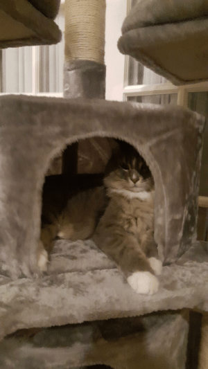 New cat tree for big chonker: New cat tree for big chonker