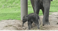 Asian, Elephant, and Zoo: New male Asian elephant calf born on May 12th at the Rosamond Gifford Zoo