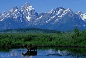 New Photo of Mine Each Day of Quarantine: Day 4: Moose in Grand Tetons: New Photo of Mine Each Day of Quarantine: Day 4: Moose in Grand Tetons
