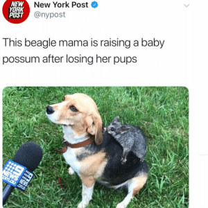 Memes, New York, and New York Post: NEW  YORK  POST  New York Post <  @nypost  Tnis beagle mama is raising a baby  possum after losing her pups Wow this is important. Praying @grumpybeagle brings home a possum now. Via @nypost