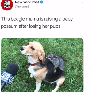 Friends, Instagram, and New York: New York Post  NEW  YORK  POST @nypost  This beagle mama is raising a baby  possum after losing her pups  NEWS NEWS  omLaucom.au Wow this is important. @poss_and_friendsvia @nypost