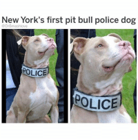 "Bless Up, Gym, and Life: New York's first pit bull police dog  @DrSmashlove  OLICE  OLICE SHOUT TO U OLD MEN AT THE GYM WHO WALK UP TO PRETTY WOMEN ON THE ELLIPTICAL OR THE STAIRMASTER AND START TALKING TO THEM JUST YAMMERING AWAY YALL ARE ABSOLUTE MVP LEVEL SAVAGES U KNOW SHE GON BE A CAPTIVE AUDIENCE AND ALL SHE WANNA DO IS SWIPE ON TINDER AND iMESSAGE HER HOMEGIRLS ABOUT LAST NIGHT's DATE BUT NOW SHE GOTTA TALK TO YA OLDA$$ FLEXIN YA LIL KOREA WAR ERA ""anchor"" TATTOO THAT FADED INTO A DIRTY THUMBPRINT AND SHE GON TALK TO U FOR THE FULL 45 MINUTES BC SHE GON KNOCK OUT THAT WORKOUT REGARDLESS I SWEAR YALL THE TRUEST SAVAGES ON EARTH BLESS YALL THO I HOPE I'M 729 YEARS OLD STILL HITTING THE GYM I CAN'T BLAME YALL U MIGHT STRIKE GOLD AND FIND A LONELY LIL BIRB IN THE EXACT STATE OF MIND TO LET A GREAT GRANDPA IN HER LIFE WITH A OLDSMOBILE WITH A SPIFFY INTERIOR AND A HEALTHY PENSION SHOOT U NEVER KNOW UNLESS U SHOOT YA SHOT **GET IT GRANDPA FIX THEM DENTURES AND TALK YO ISHT MAYBE TONIGHT SHE GON HIT U WITH THAT ""wyd grandaddy 🙃"" text BLESS UP** LMAO 💪😂😂😂"