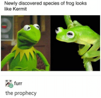 Kermit the Frog: Newly discovered species of frog looks  like Kermit  n furr  the prophecy