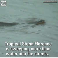 The devastating floods from Tropical Storm Florence are bringing a new danger to the Carolinas - displaced venomous snakes.: Newport, North Carolina  NEWS  Tropical Storm Florence  is sweeping more than  water into the streets. The devastating floods from Tropical Storm Florence are bringing a new danger to the Carolinas - displaced venomous snakes.