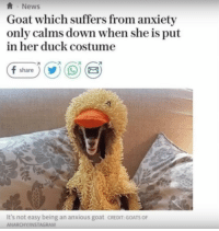 Instagram, Memes, and News: News  Goat which suffers from anxiety  only calms down when she is put  in her duck costume  share  It's not easy being an anxious goat CREDIT:GOATS OF  ANARCHY/INSTAGRAM positive-memes:  Hang in there, if a goat can do it so can you