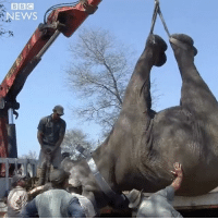 Animals, Memes, and News: NEWS Rangers in Malawi are taking on the mammoth task of moving hundreds of elephants into safer national parks. The animals have suffered a sharp decline in recent years due to poaching and loss of habitat. elephant elephants conservation malawi bbcnews 500elephants