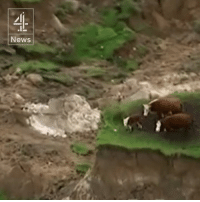 Three cows are stranded on a small island of grass after the New Zealand earthquake.   The quake has left two people dead, triggered a tsunami and sent aftershocks across the country.: News Three cows are stranded on a small island of grass after the New Zealand earthquake.   The quake has left two people dead, triggered a tsunami and sent aftershocks across the country.