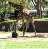 The ReidParkZoo came up with a creative way to help their giraffes stretch their legs!: NEWS  YouTube Reid Park Zoo The ReidParkZoo came up with a creative way to help their giraffes stretch their legs!