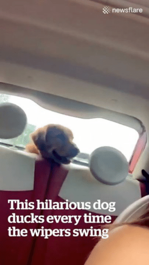 """""""I don't think my dog understands window wipers..."""" Wait for it 😂😍: :::: newsflare  This hilarious dog  ducks every time  the wipers swing """"I don't think my dog understands window wipers..."""" Wait for it 😂😍"""