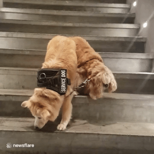 This service dog guiding a blind dog down stairs will brighten your day  😍❤️: newsflare This service dog guiding a blind dog down stairs will brighten your day  😍❤️