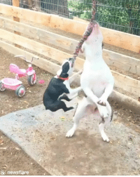 Dog, Big, and You: &newsflare You can't tell the little dog she's not the big dog 😂😂